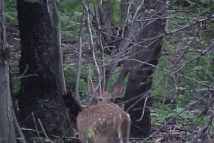 Watershed Moments: Biology and Management of White-tailed Deer in Maryland