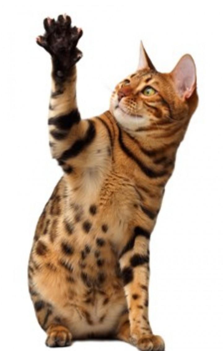 Cat Show TICA