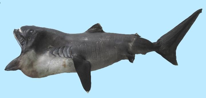 大人の科学バー・魚編vol.6「サメにあったらどうするか ー知られざる生態から人との関係ま
