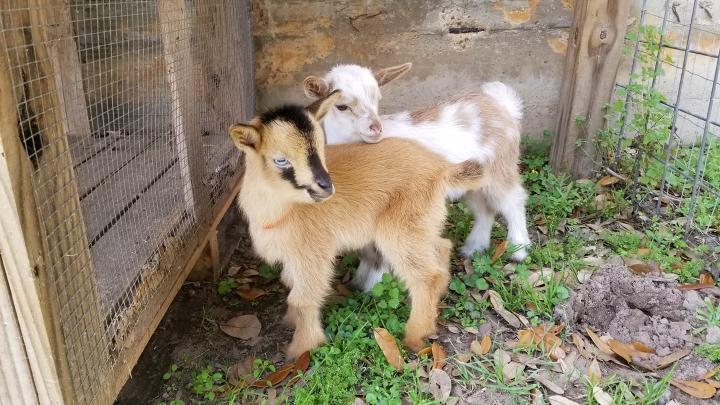 Goat Yoga & Wine Tasting